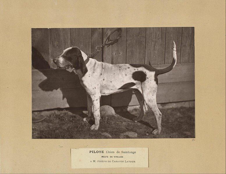 Photo chiens de race pour centrale canine