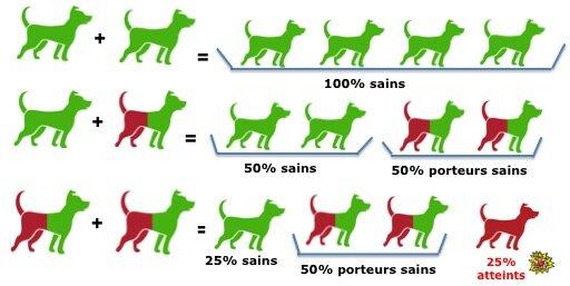 Conditions de transmission des maladies genetiques hereditaires chez le chien