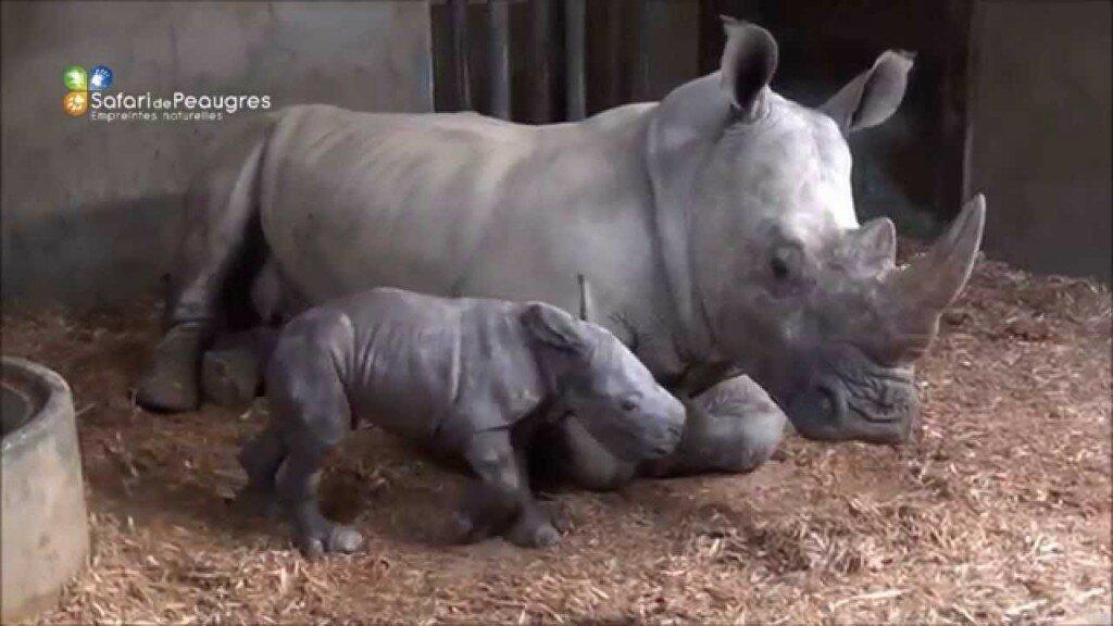 Naissance rhinoceros safari de peaugres